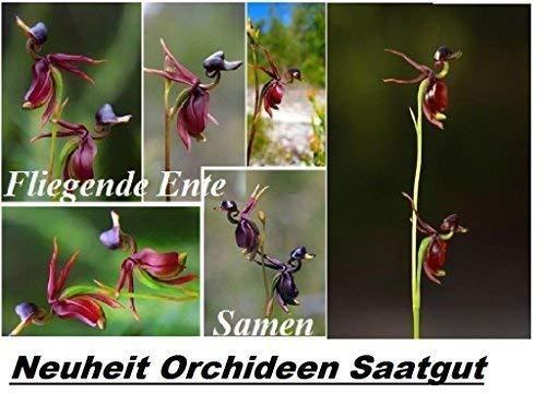 25x Qui vole Canard Graines Accroche-regard Fleur D'orchidée Plant Rarité Caleana major #110