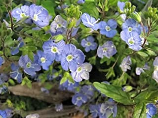 Best periwinkle seeds canada Reviews