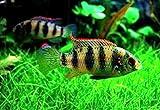 【熱帯魚・シクリッド】 アノマロクロミス・トーマシー ■サイズ:4cm± (50匹)