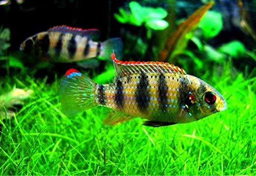 (熱帯魚)アノマロクロミス・トーマシー