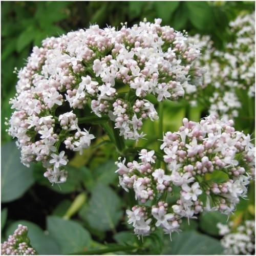 Paquet de 450 graines, semences ordinaires Valériane Herb (Valeriana officinalis)