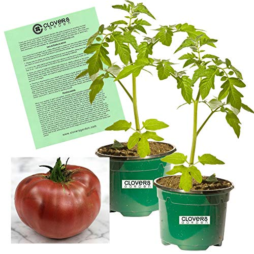"""Clovers Garden Cherokee Purple """"Carbon"""" Tomato Plant - Non-GMO - Two (2) Live Plants - Not Seeds - Each 4""""-7"""" Tall - in 3.5 Inch Pots - Includes Clovers Garden Copyrighted Plant Care Guide"""