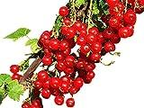 Johannisbeere 10 Samen -Winterhart- -Ribes rubrum-