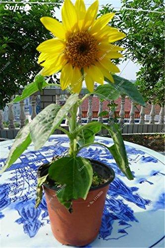 Exotique Graines de tournesol intérieur Fleurs Plante en pot Helianthus annuus Sun Flower Seed Jardin Décoration Pots Pots 50 Pcs