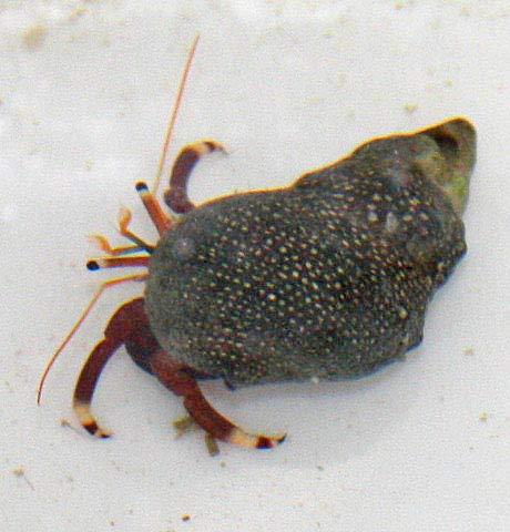SevenSeaSupply 10 x Live Red Legs Hermit Crab - Saltwater Red Legs Hermit Crab
