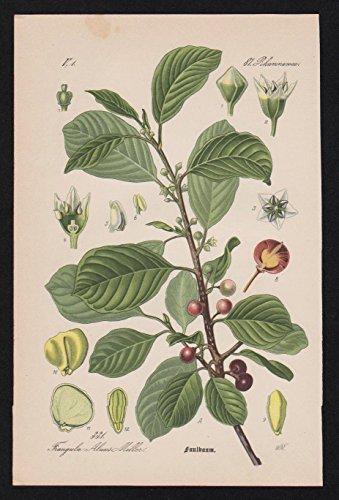 Faulbaum Rhamnus frangula Lithographie Kräuter Heilkräuter herbs herbal