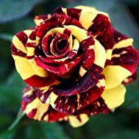10 Seeds Red Yellow Rose Flower Bush Perennial Shrub Garden Home Exotic Garden