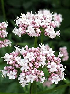 250 Valerian (Garden Heliotrope/Heal All) Valeriana Officinalis Herb Flower Seeds