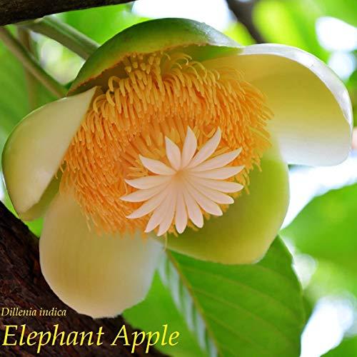 ~ ELEPHANT APPLE ~ Dillenia Indica Hondapara fruits tropicaux Arbre 12/50/100 Graines