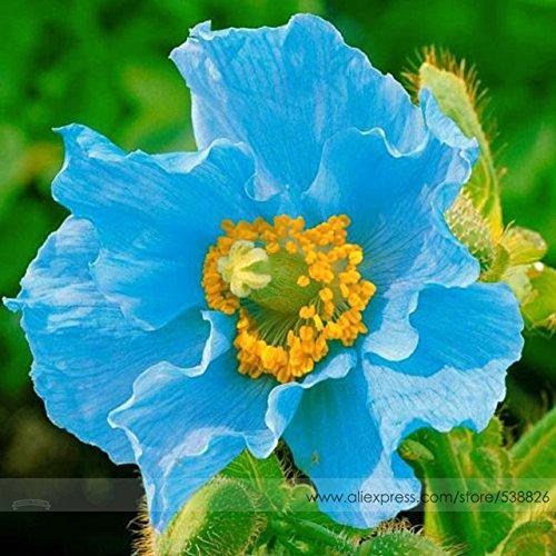 Vente chaude!!! Graines rares pavot bleu de l'Himalaya, pack professionnel, 100 graines/Paquet, très belle fleur Hardy