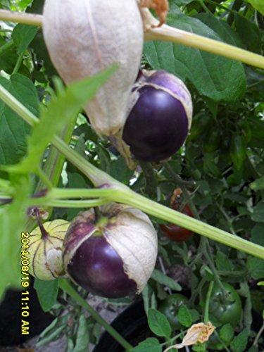 Purple Tomatillo, leckere grosse Früchte geniessen, 20 Samen von unserer ungarischen Farm samenfest, nur organische Dünger, KEINE Pesztizide, BIO hu-öko-01