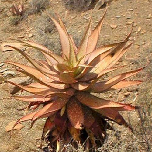 Aloe Khamiesensis Exotic Succulent Rare Agav Cactus Max Dealing full price reduction 43% OFF PIant Garden