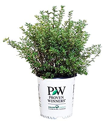 Proven Winners - Potentilla frut. Happy Face White (Cinquefoil) Perennial, white flowers, #2 - Size Container by Green Promise Farms