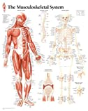 Musculoskeletal, Laminated Chart