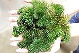ZAC Wagner Portion Hornkraut (Ceratophyllum demersum) Unterwasserpflanze Teichpflanzen Teichpflanze Schwimmpflanzen