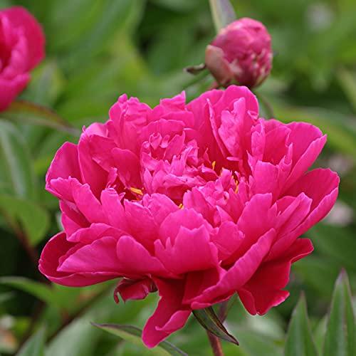 Pfingstrose Karl Rosenfield - Rose stark...