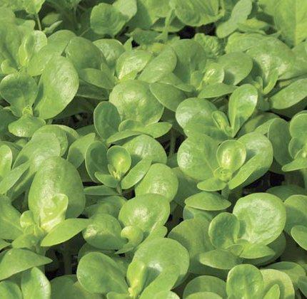 Gemüse-Portulak Gold - Portulaca oleracea sativa - Salat - 500 Samen