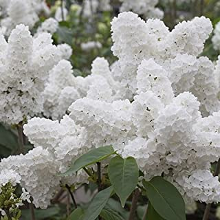 75 White Japanese Lilac Seeds (Extremely Fragrant)/