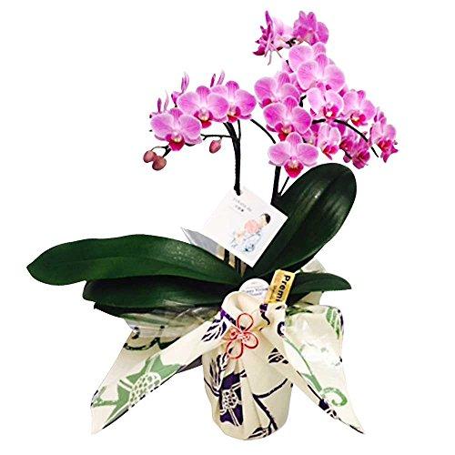ミニ胡蝶蘭 yukata de 胡蝶蘭 4号鉢植え 2本立て /お中元 ギフトに花のプレゼント 開店祝いに 母の日 (ピンク)