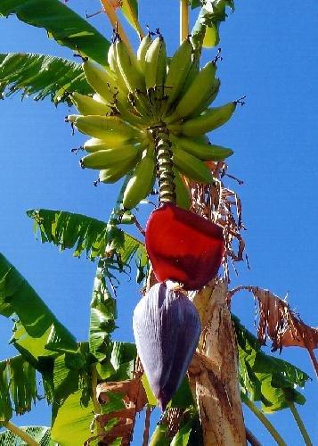 TROPICA - Gran platanera (Musa X paradisiaca) - 10 semillas- Cultivos