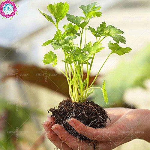 100 pcs / sac saisons graines de coriandre graines arôme de persil graines naturelles végétales comestibles bio plante verte bricolage pour le jardin à la maison