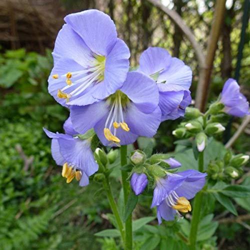 4 x Polemonium Reptans 'Blue Pearl' - Jacobsladder pot 9cm x 9cm