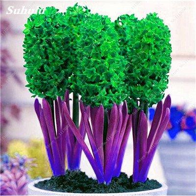 Livraison gratuite Parfum Pas Cher Graines jacinthe, plantes en pot purifient l'air, PC de bureau Décor-100 Pcs Hyacinthus Orientalis Seed 7