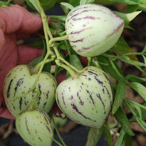 Plant World Seeds - Pepino (melon Pear) Seeds