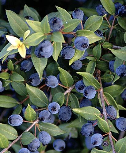 Myrtus communis'Mirto Sardo' pianta in vaso ø20 cm