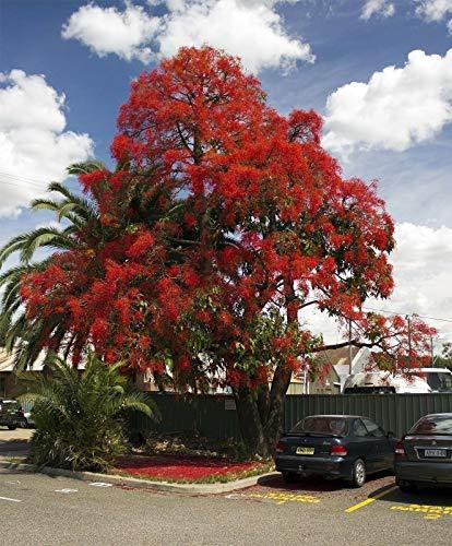 Brachychiton acerifolius - Illawara Flame Tree - 10 Fresh Seeds, Fruit, Flower, Tree, Vine, Shrub, Seeds