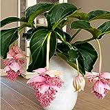 BIYI 100 Teile/paket Hängende Laterne Blumensamen Pyrethroid Samen Schöne Mehrjährige Blumen Samen Blume für DIY Hausgarten (Zufällig)