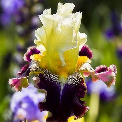 Pudincoco 1 Paquete Iris Germanica Semillas Flor de Sangrado Plantas Pequeñas para balcón Jardín Sala de Estar Supervivencia Fuerte