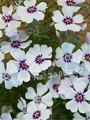 Kaufen Sie Knoblauch Schnittlauch Samen 400pcs Pflanzen Gewürze Gemüse Weiße Wurzel Lauch