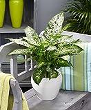 Dieffenbachia seguine COMPACTA   Canne des muets   Plante tropicale d'intérieur   Hauteur 35-40cm   Pot de Ø 12cm