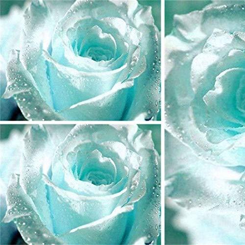 Ultrey Samenshop - Hellblau Rose Samen Blumensamen exotische Haus Garten Rose Pflanzensamen Rose aus Samen wachsen Lange Blütezeit winterhart