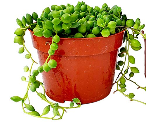 Fat Plants San Diego Succulent Plant(s) Fully Rooted in 4 inch Planter Pots with Soil - Real Live Potted Succulents/Unique Indoor Cactus Decor (1, String of Pearls)