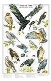Birds of Prey Poster and Identification Chart Vol. 1 - Eagles and Hawks - Artist: Karen Pidgeon