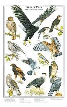 Birds of Prey Poster and Identification Chart Vol 1 - Eagles and Hawks - Artist  Karen Pidgeon