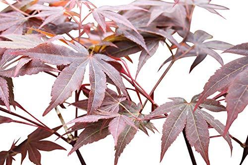 Acer Palmatum Atropurpereum - Érable du Japon - Hauteur 100 cm