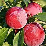 スモモの苗木 品種:サンタローザ【品種で選べる果樹苗木 2年生 接木苗 15cmポット 平均樹高:60cm/1個】(ポット植えなのでほぼ年中植付け可能)日本スモモとアメリカスモモをかけ合わせた品種で、両方のいいとこ取りをしています! 肉質はとても柔らかく、甘みと酸味とのバランスが抜群です! 香りがとても強く、フルーティーな香りが楽しめます。 花粉が多いので、ソルダムや大石早生の受粉樹としても最適です。 栽培適地が広く、全国どこでも栽培できます。 開花が早いので開花期に霜が降りない地域が適してます。【自社農場から新鮮苗直送!!】