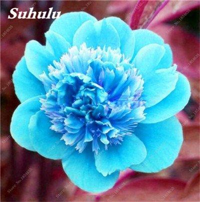 Nouveau! 10 Pcs Pivoine Graines Paeonia suffruticosa Andrews Mix Couleurs Indoor Bonsai fleur pour jardin des plantes Pivoine Graines de fleurs 22