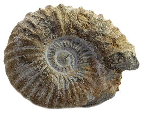 Budawi® - Ammonit aus Marokko Acanthoceras fossilien Kreideperiode, Fossilien Ammoniten