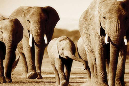 LARGE CANVAS ART ELEPHANTS BROWN/SEPIA READY TO HANG 30 X 20 INCHES (76 cm x 51 cm) mounted and ready to hang