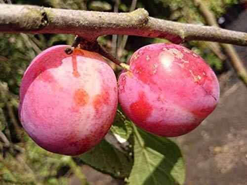 WonderTree Pflaumenbaum Victoria Pflaume extra reich tragend selbstfruchtend kompakt wachsend
