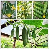 Semi di cetriolo dolce cetriolino 70+ Cucumis Sativus Frutta Verdura Semi di vite freschi per giardino domestico Giardino esterno Fattoria Piantare