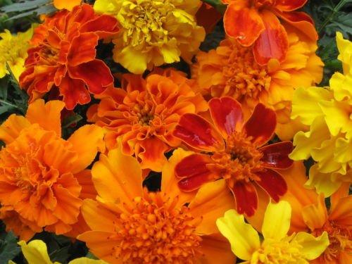 500ct des graines de Marigold mixtes, Mix agricole, des semences en vrac, œillets d'Inde, Heirloom semences