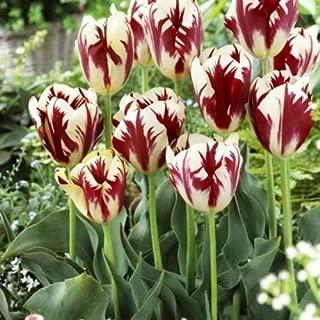 Grand Perfection Tulip Bulbs - 10 Tulip Bulbs