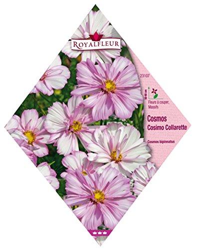 Royalfleur PFRV23107 Graines de Cosmos Cosimo Collerette