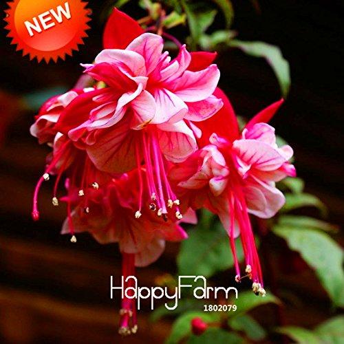 Nouvelle arrivée! Violet Petals Double Fuchsia Graines Graines de fleurs en pot Plantes en pot Hanging Fuchsia Fleurs 50 semences / Lot, # HQ5X17