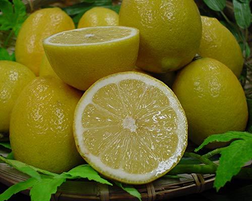 吉田農園「海のレモン」(約2kg入り)